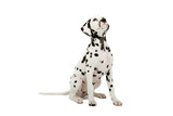 dalmatian puppy  isolated on a white background poster