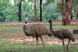 two australian emus walk along through the scrub poster