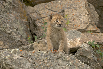 Baby lynx on rocky ledge. Distinctive ear tufts starting