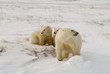 Polar bear with her cubs on the tundra in the Canadian Arctic