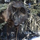 Fototapeta zwierzę - czarny - Dziki Ssak