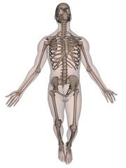 Human Male Skeleton