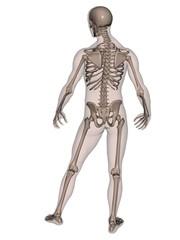 Human Male Skeleton (rear view)