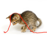 Kitten playing with red yarn poster