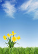 Spring daffodils on green grass under a blue sky