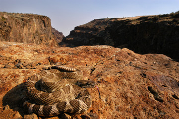 northern pacific rattlesnake in canyon ledge tongue out