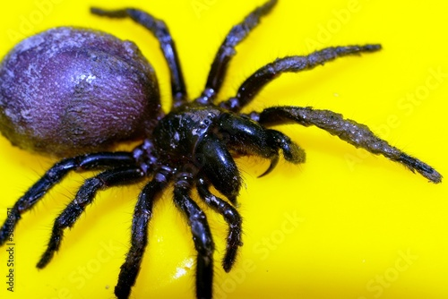funnel web spider 8