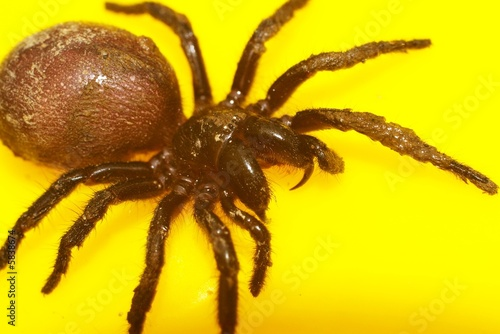 funnel web spider 9