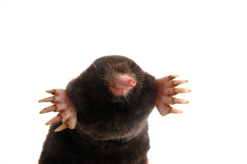 townsends mole front view slight angle