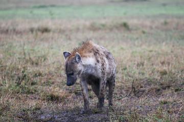 hyena in the masai mara reserve