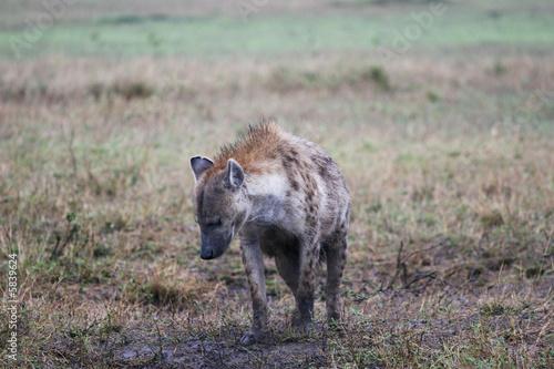 Papiers peints Hyène hyena in the masai mara reserve