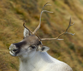Head and shoulders portrait of a young reindeer