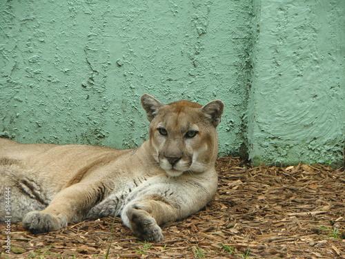 Poster Puma Florida Panther Felidae Carnivora