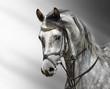 roleta: Portrait of dapple-grey arabian horse