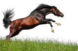 arabian stallion jumps - isolated on white poster