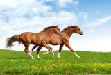 two foals gallop - realistic photomontage poster