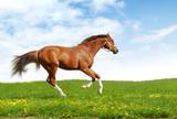 sorrel trakehner foal gallops - realistic photomontage poster