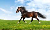 arabian horse trots - realistic photomontage poster