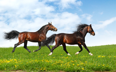 two stallions trot - realistic photomontage