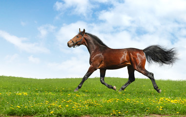 hanoverian horse trots - realistic photomontage