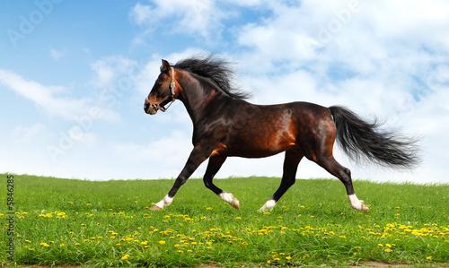 Arabian Horse Trots - Realistic Photomontage