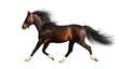 arabian stallion trots - isolated on white