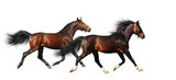 two stallions trot - isolated on white poster