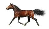 hanoverian stallion trots - isolated on white poster