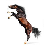 arabian horse rears - isolated on white poster