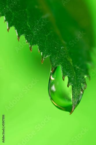 Leinwandbild Motiv Water drops on the fresh green leaf. Super Macro .