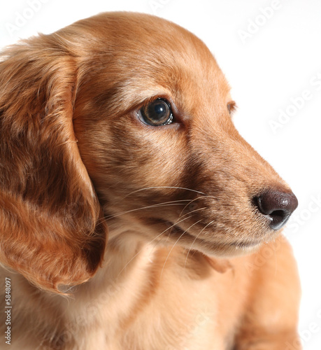Adorable long hair dachshund puppy