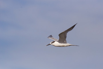 A Sandwich Tern flying overhead with a cloudy sky as a backdrop.
