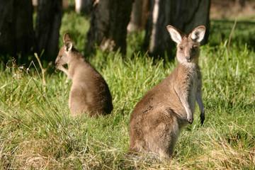 A curious baby kangaroo