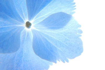 Close-up of soft pastel blue hortensia flower