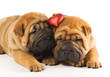Quadro Two sharpei puppies in love