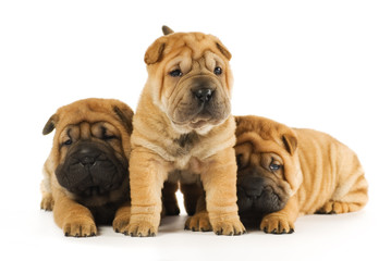 Group of sharpei puppies isolated on white background