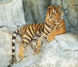 Southeast Asian tiger relaxin on a cliff poster
