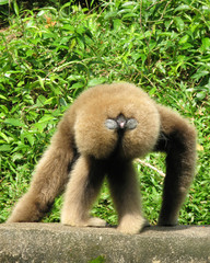 gibbon showing his backside