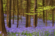 Millions of wild hyacinth flowers in the Hallerbos woods