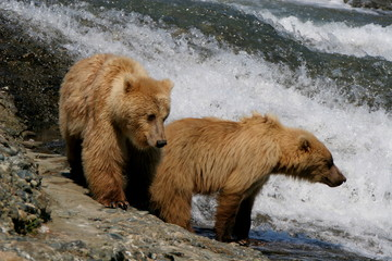 McNeil River Brown Bear Cubs
