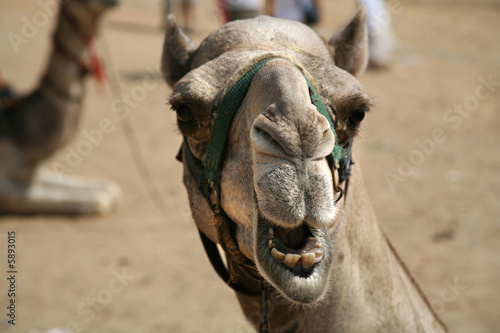 camel with open mouth next to gizah pyramids