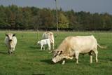 bull. cow. calf. cattle in farm/ field poster