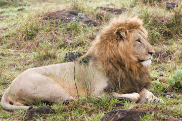 lion resting in the savannah