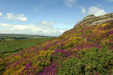 View of Haytor rocks Dartmoor covered in heather