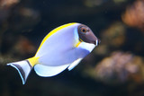 picture of tropical fish close up swim wildlife poster