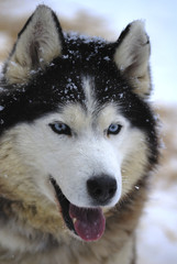 Husky, portrait of a blue-eyed dog