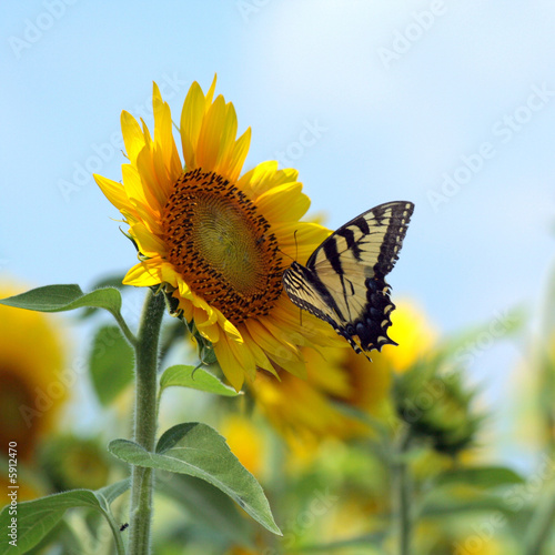 Plakat butterflysunflower