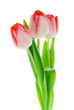 isolated tulips