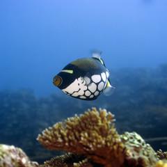 Tropical fish  Clown Triggerfish (Balistoides conspisillum).
