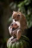 Mother macaque monkey breastfeeding her baby poster